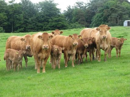 Nixon Lims Calves and cows