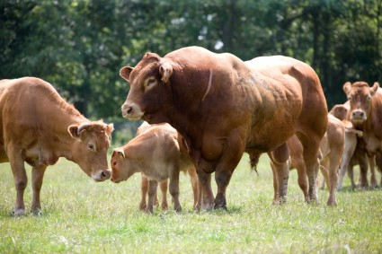 Blaxell Bull with cows